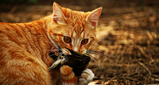 Cat, Feral with Bird