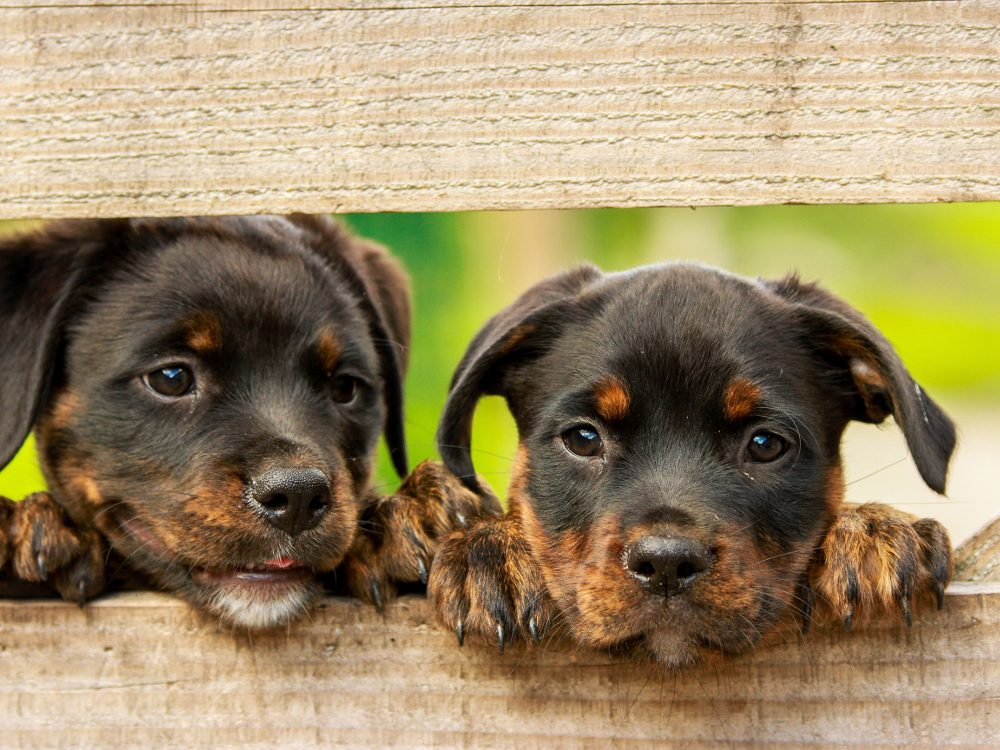 Dogs, Happy, Poking Heads Through Gap in Fence
