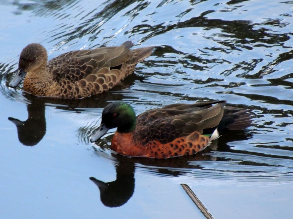 Chestnut Teal Ducks