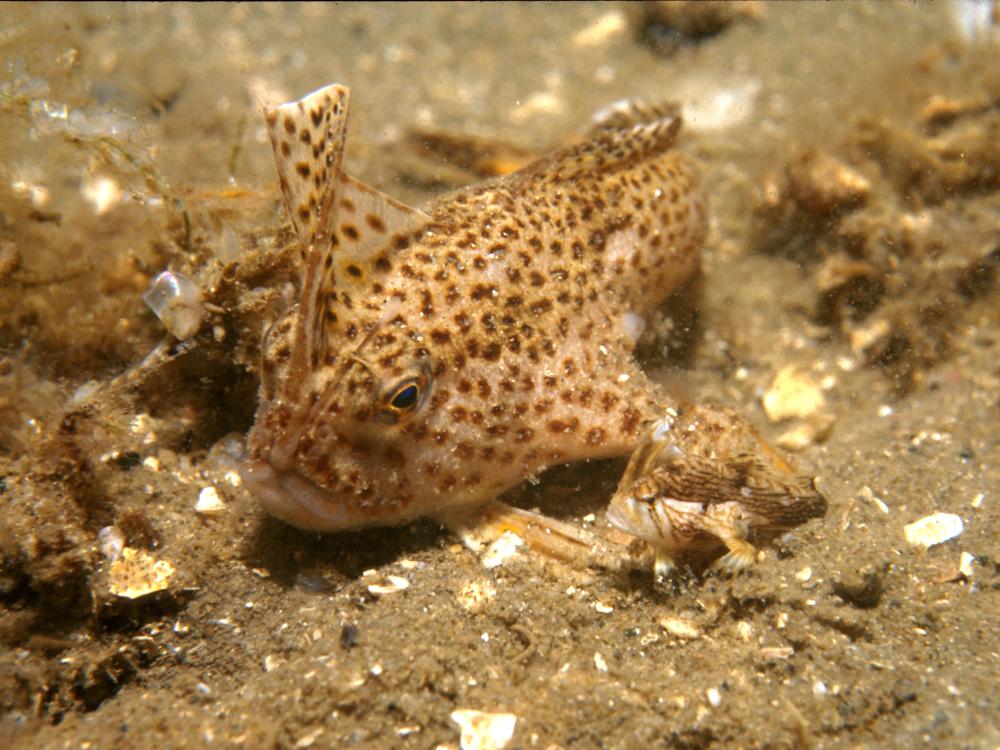 Spotted Handfish, Tasmania