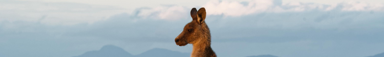 Forester Kangaroo