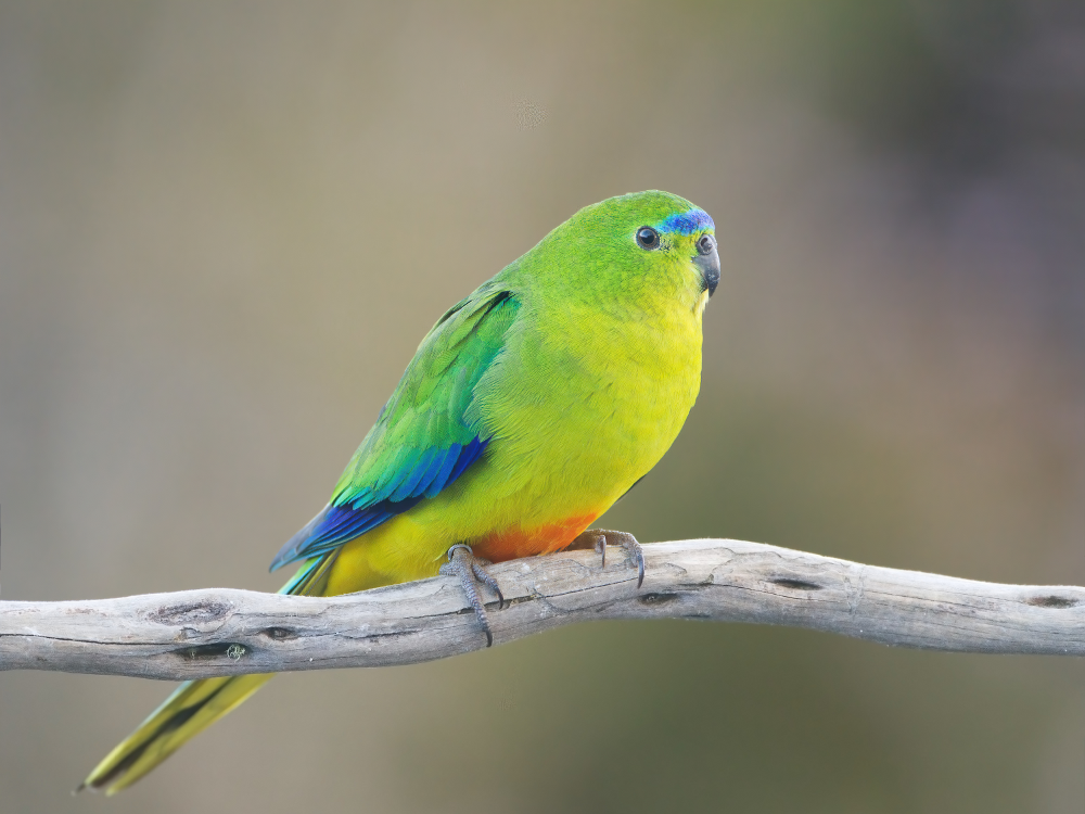 Orange-Bellied Parrot, Female