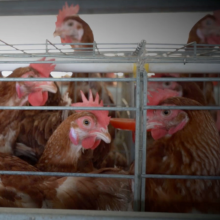 Chickens, Battery Cages