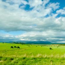 Tasmanian Farm, Cows