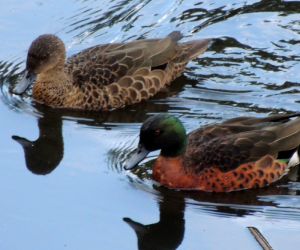 Chestnut Teal Ducks